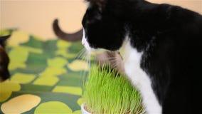 Mature cat eating grass stock footage
