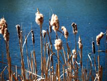 Cattails Beside Pond. Mature cattails growing beside pond in late summer stock photo