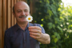 Mature caucasian man holding in hand white daisy. Royalty Free Stock Photography