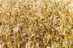 Mature cereal .  close-up Stock Photos