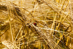 Mature cereal  close-up Stock Photo