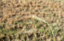 Mature Cereal plant Stock Images