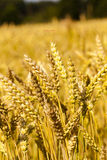Mature cereals Stock Image