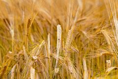 Mature cereals Royalty Free Stock Images