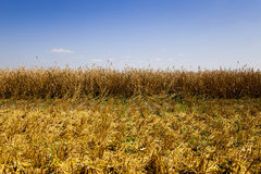 Mature cereals,  harvest Stock Images