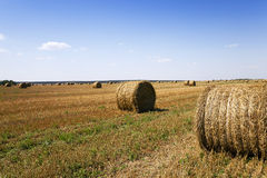 Mature cereals ,  harvest Royalty Free Stock Image