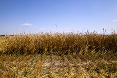 Mature cereals , harvest Stock Images