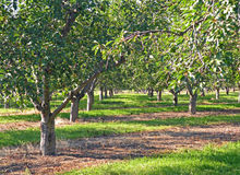 Mature Cherry Orchard. A photograph of a mature cherry orchard Royalty Free Stock Images