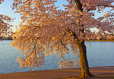 Mature cherry tree with flower near the water of Tidal Basin in Washington DC, USA. Royalty Free Stock Photo