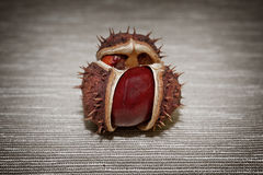Mature chestnut close-up  on a brown background. horizontal photo. Royalty Free Stock Photography