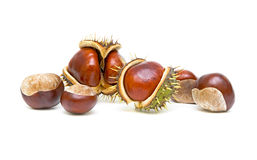 Mature chestnut trees on a white background. Chestnuts with seed pods over white Stock Photography