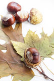 Mature chestnuts and autumn leaves isolated on white background, close up Royalty Free Stock Images