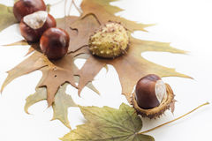 Mature chestnuts and autumn leaves isolated on white background, close up Royalty Free Stock Image