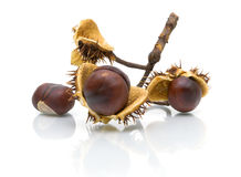Mature chestnuts on a branch on a white background Stock Photo