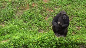 Mature chimpanzee perches enjoy on grass