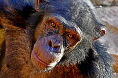 Mature Chimpanzee in the zoo. Chimpanzee the very famous ape in Africa Guinea and New Zealand, is pictured here. Monkeys and Apes are very active animals and can stock photography