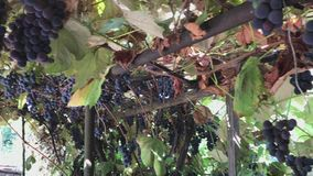 Mature clusters of blue grapes hang from the vine. stock video