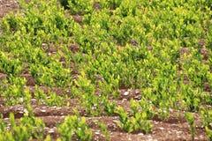 Mature Coca field Stock Photo