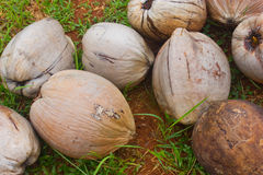 Mature Coconut Fruits. Mature Coconut Fruit On The Grass Floor Royalty Free Stock Photography
