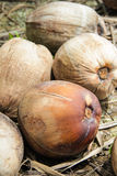 Mature coconuts Stock Photos