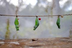 Mature cocoon of the butterfly is hanging in the insectarium. !! royalty free stock photography