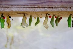 Mature cocoon of the butterfly is hanging in the insectarium. !! stock image