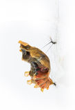Mature cocoon of common rose butterfly Royalty Free Stock Photo
