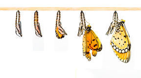 Mature cocoon transform to Tawny Coster butterfly. In white background royalty free stock photography