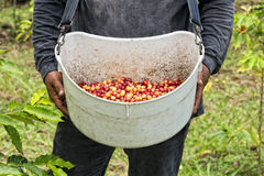 Mature coffee seeds kona hawaii Royalty Free Stock Images
