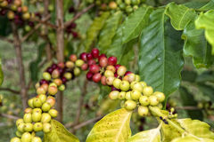 Mature coffee seeds kona hawaii Stock Photo