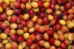 Mature coffee seeds kona hawaii Royalty Free Stock Photo