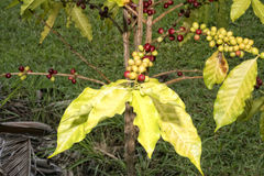 Mature coffee seeds kona hawaii Royalty Free Stock Photos
