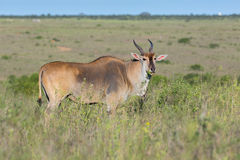 Mature Common Eland Buck Stock Photo