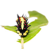 Mature Common Mime caterpillar Stock Images