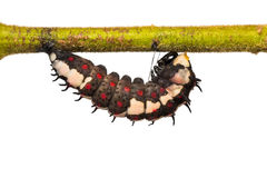 Mature Common Mime caterpillar Royalty Free Stock Photography