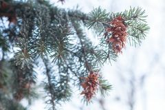 Mature cone on Branch of blue fir-tree blue, green, white, Colorado blue spruce, Picea pungens covered with hoarfrost. New Year's Royalty Free Stock Images