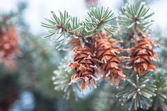 Mature cone on Branch of blue fir-tree blue, green, white, Colorado blue spruce, Picea pungens covered with hoarfrost. New Year's Royalty Free Stock Image