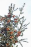 Mature cone on Branch of blue fir-tree blue, green, white, Colorado blue spruce, Picea pungens covered with hoarfrost. New Year's Stock Images