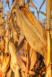 Mature corn Royalty Free Stock Photos