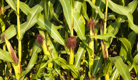 Mature corn Royalty Free Stock Images