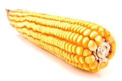 Mature corn cob Royalty Free Stock Images