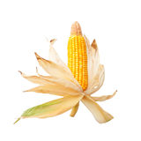 Mature corn cob isolated on white Royalty Free Stock Photos