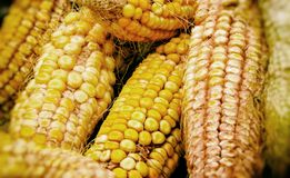 Mature corn cobs in the fall. royalty free stock photos