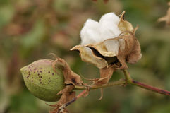 Mature cotton. In field, ready for harvest with bowls and leaves etc stock photos