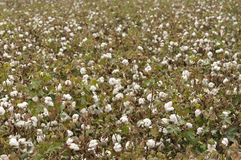 Mature cotton. In field, ready for harvest with bowls and leaves etc Stock Photography