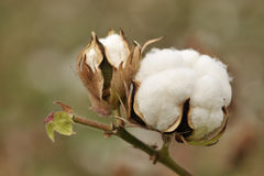 Mature cotton Royalty Free Stock Images