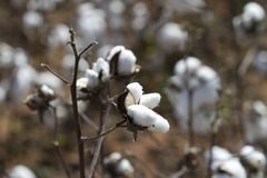 Mature Cotton Bolls with Blurred Background stock photography