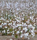 Mature Cotton. A field of mature Cotton plants, almost ready for harvest Stock Photo