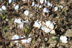 Mature cotton plant. Bols of cotton on plants in field of rural Tennessee Royalty Free Stock Photo