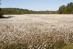 Mature cotton plants in field. Bols of cotton on plants in field of rural Tennessee Royalty Free Stock Image